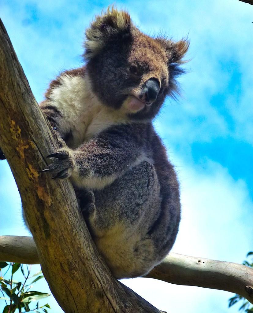 Koala Baum