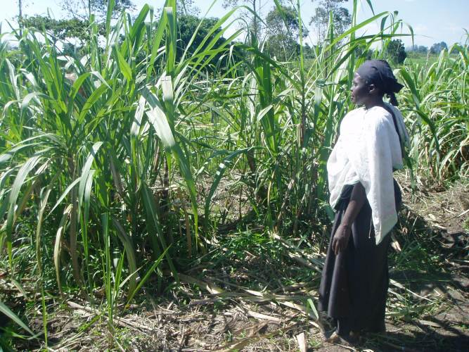 Old Ugandan woman standing in her cane sugar field