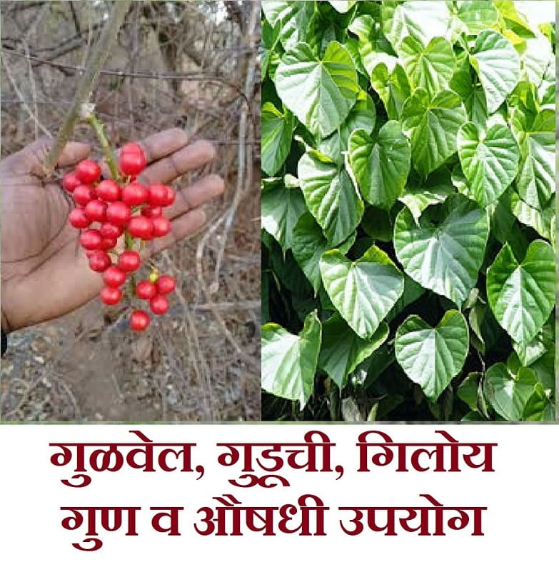 gulvel plant benefits in marathi, gulvel plant marathi, gulvel kadha marathi, gulvel che fayde in marathi, gulvel powder benefits in marathi, giloy in marathi