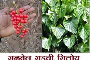 gulvel plant benefits in marathi, gulvel plant marathi, gulvel kadha marathi, gulvel che fayde in marathi, gulvel powder benefits in marathi, giloy in marathi,