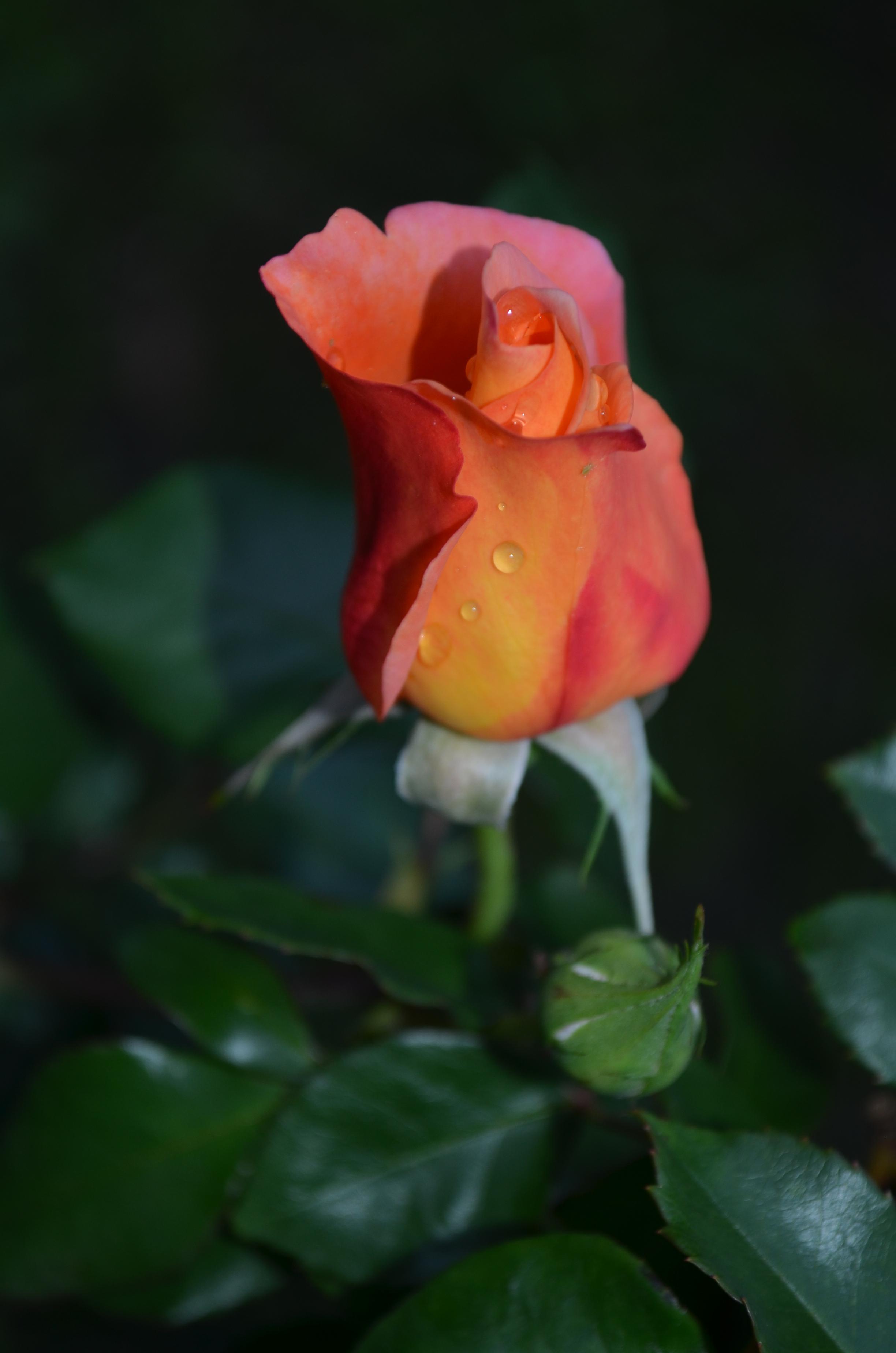 Pimpollo De Rosa MARAVILLATE