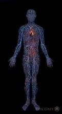 Alex_Grey_Cardiovascular_System