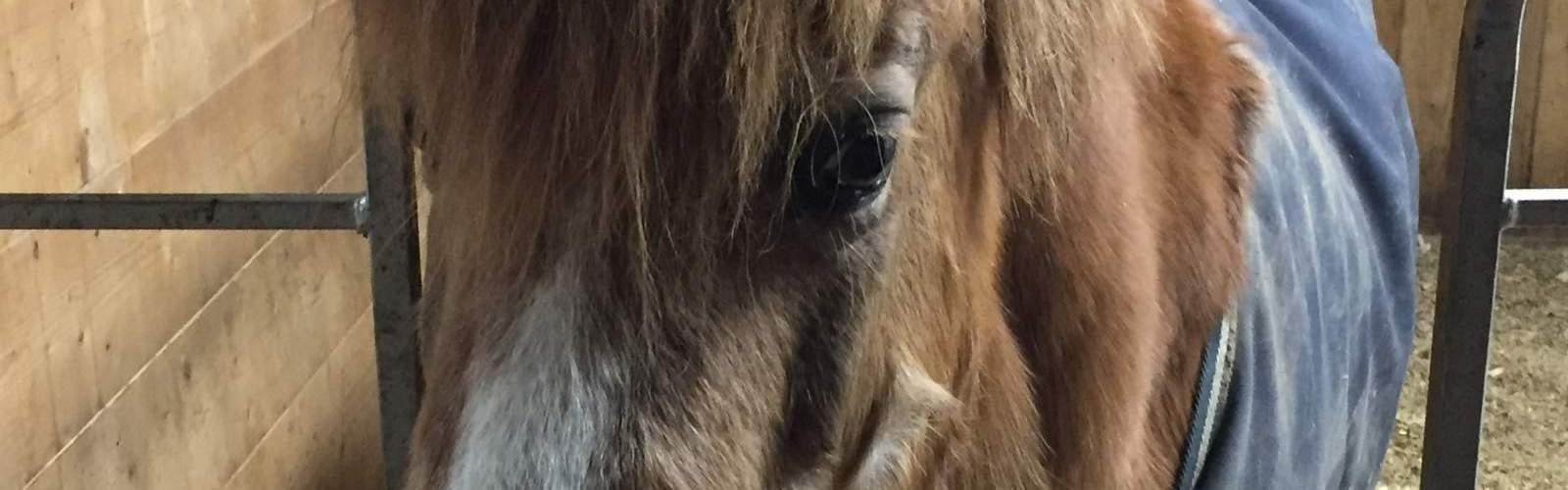 MarBill Hill Farm - Ginger - Headshot