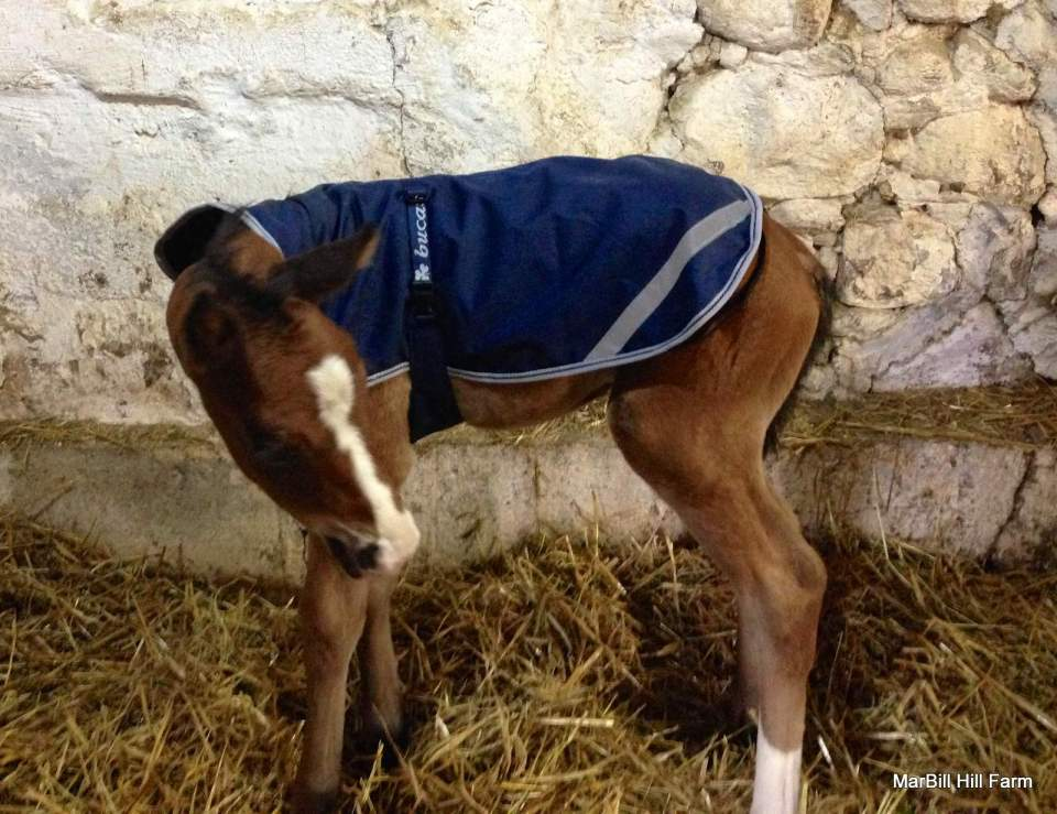MarBill Hill Farm - Wembley Foal - Horse Coat