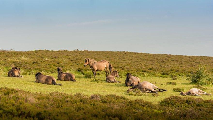 Ungefähr 10 Herden Exmoor Ponys leben noch frei und wild im Süden Englands.