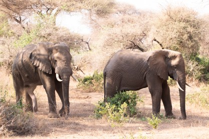 Elefantes fotografiados en un safari fotográfico en Tanzania con Marc Albiac.
