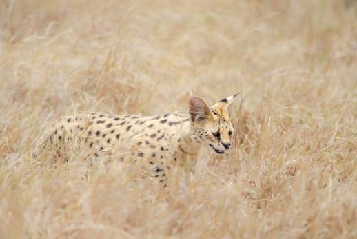 Serval cat fotografiado en un safari fotográfico en Tanzania con Marc Albiac.