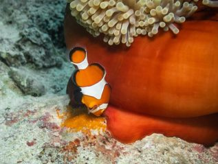Clownfish laying eggs