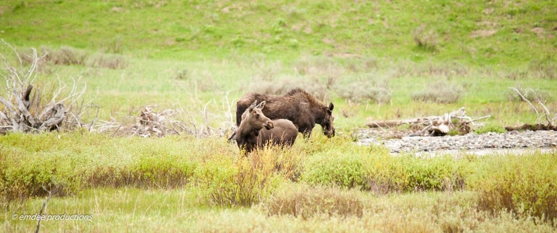 Moose, Yellowstone June 2012