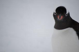penguin vogue (antarctica)