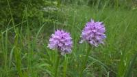 A walk discovering the wild orchids of the Sibillini Mountains