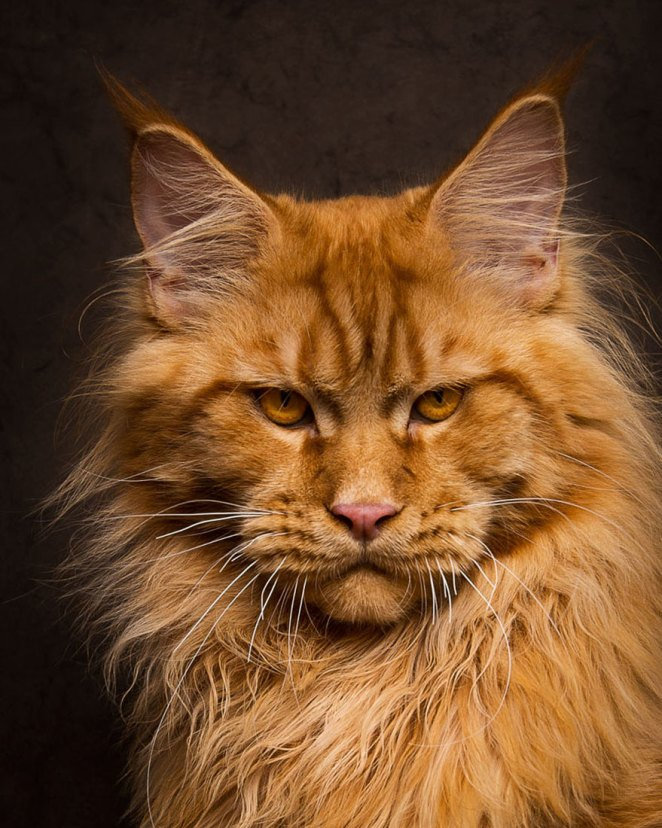 gatos-maine-coon-013