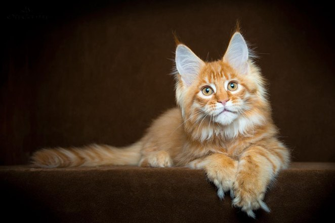 gatos-maine-coon-030