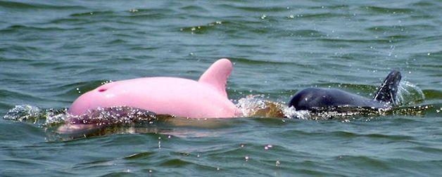 Pinky delfin (4)