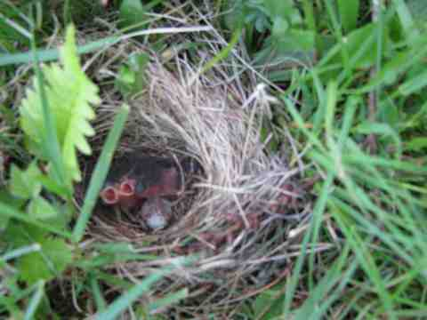 Oregon Juncos, One Day Old