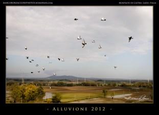 I piccioni come uccelli predatori cercano cibo nei campi allagatiThe pigeons as predatore look for food in the flooded fields