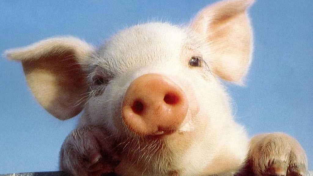 Un maialino - Fonte Internet