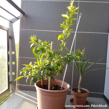 piante sul terrazzo - schizzi di piante - mandarino