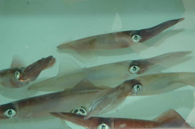 calamari nella vasca del vivo pronti per essere utilizzati in traina