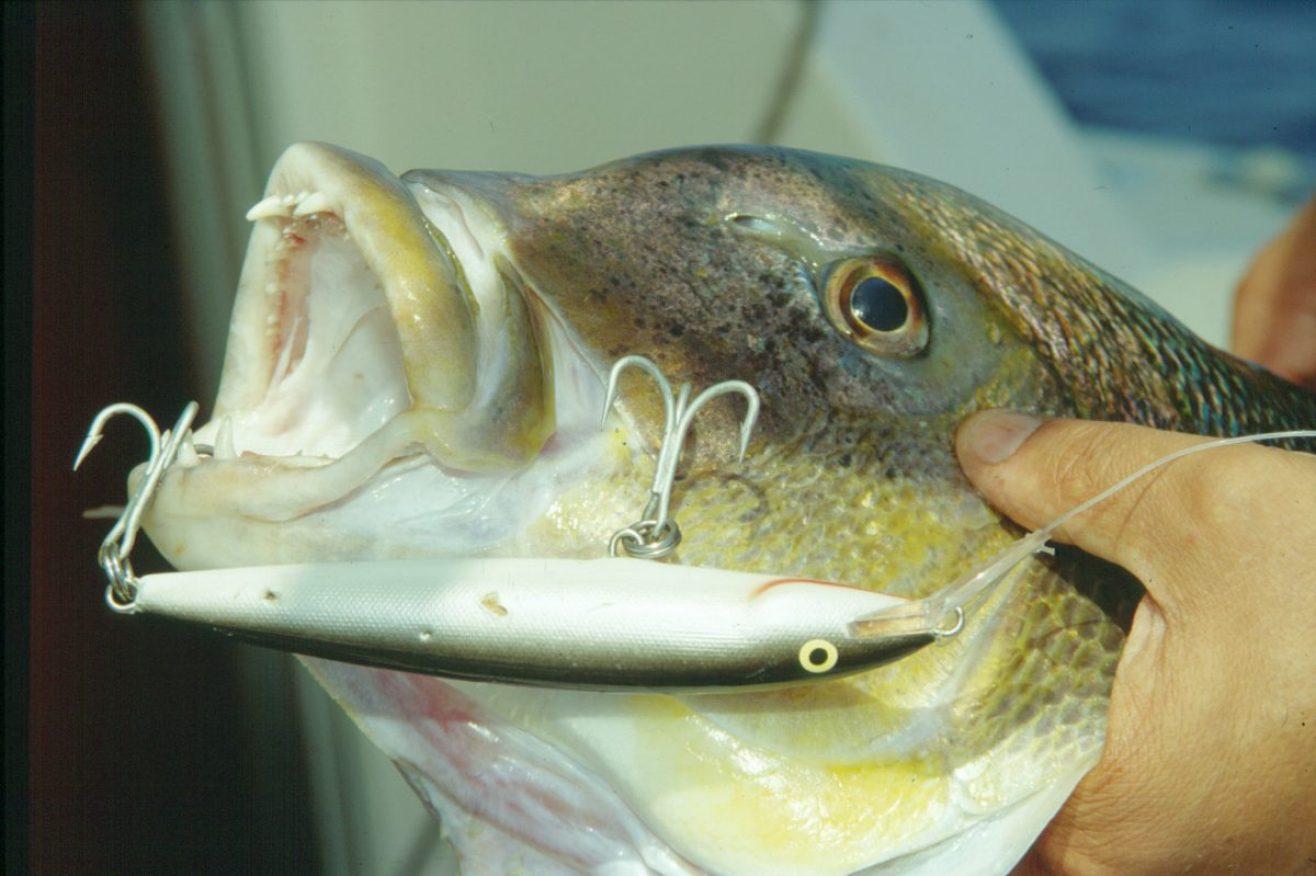 Dentice catturato con Rapala con paletta galleggiante e monel come filo affondante