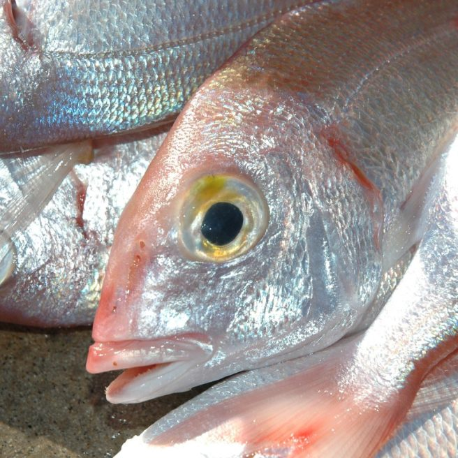 Il pagello fragolino è un pesce combattivo specialmente se insidiato con attrezzature leggere