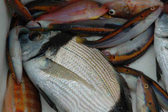 Un bel sarago testanera /fasciato catturato con un terminale da pesci bianchi