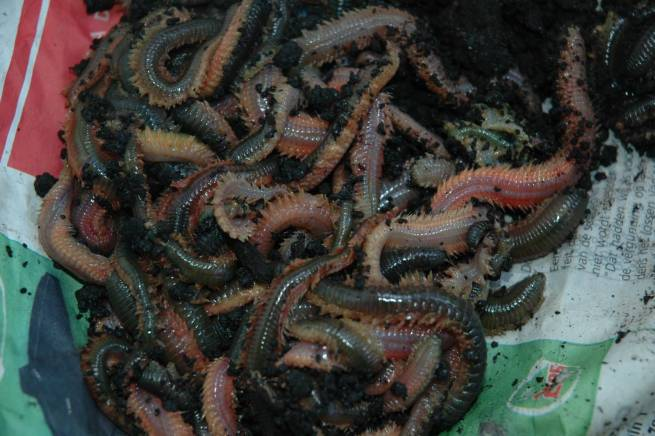 clam-worm