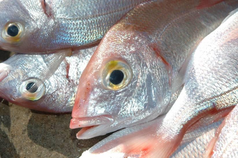 L'amo pescatore nasce in primo luogo per la cattura dei pagelli