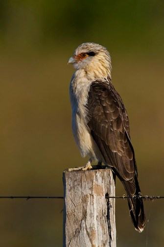 Gavião Carrapateiro (Milvago chimachima) – Yellow-headed Caracara