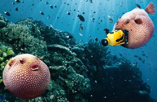 Peixes globo con ansias de protagonismo