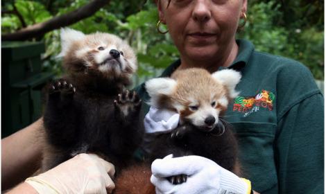 pequenos pandas vermellos