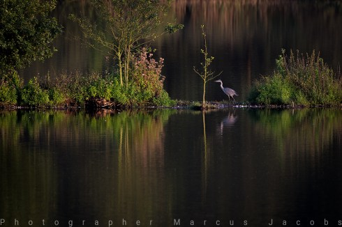 graureiher_MJ_3291