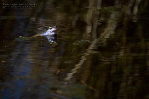 männlicher blauer Moorfrosch im Pietzmoor