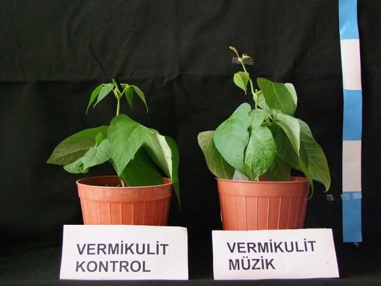 Klasik müziğin bitki gelişimine etkisini araştırdılar
