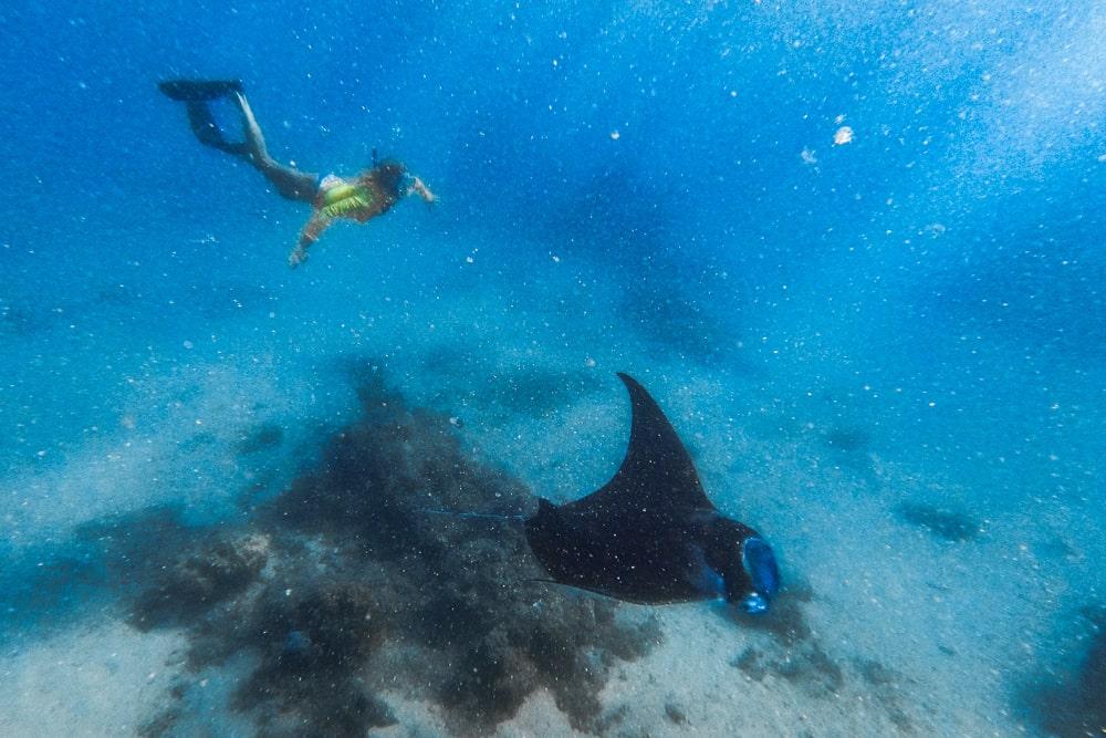 pływanie z mantami