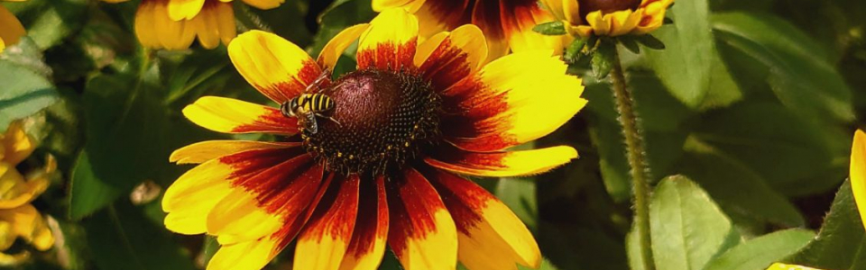A bee rests on a yellow coneflower in front of other coneflowers
