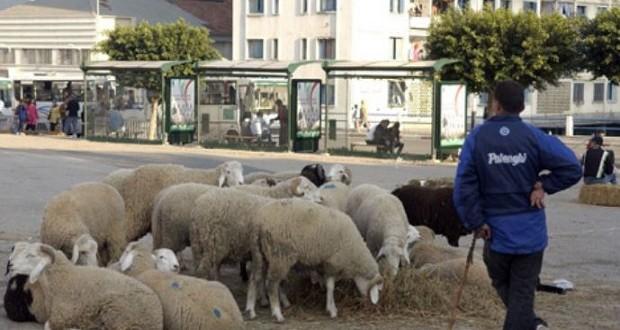 mouton-algerie-620x330