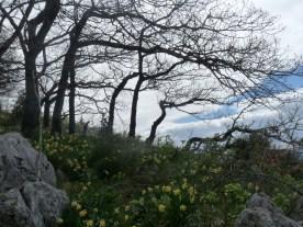 Daffodils on the windswept hillside.