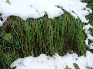 Snow-flattened grass