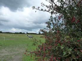 Hawthorn berries ripen.
