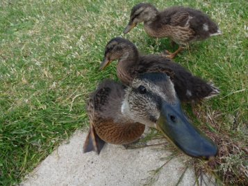 These ducklings were keen to steal our lunch one day, as we had a blustery picnic overlooking the sea near Hunstanton.