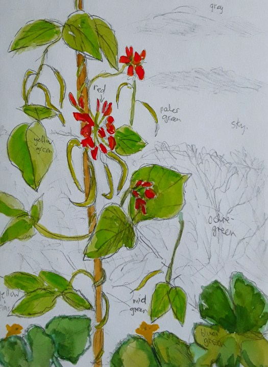 Watercolour and pencil work showing a runner bean plant with scarlet flowers  -painting plants .