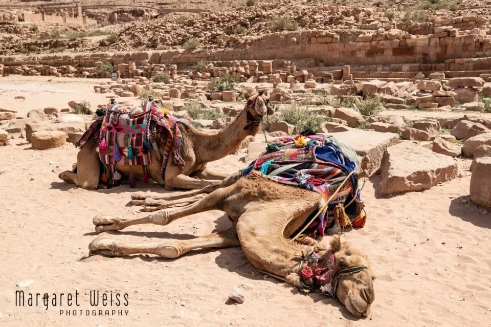 Emaciated, exhausted dromedary collapses, Petra