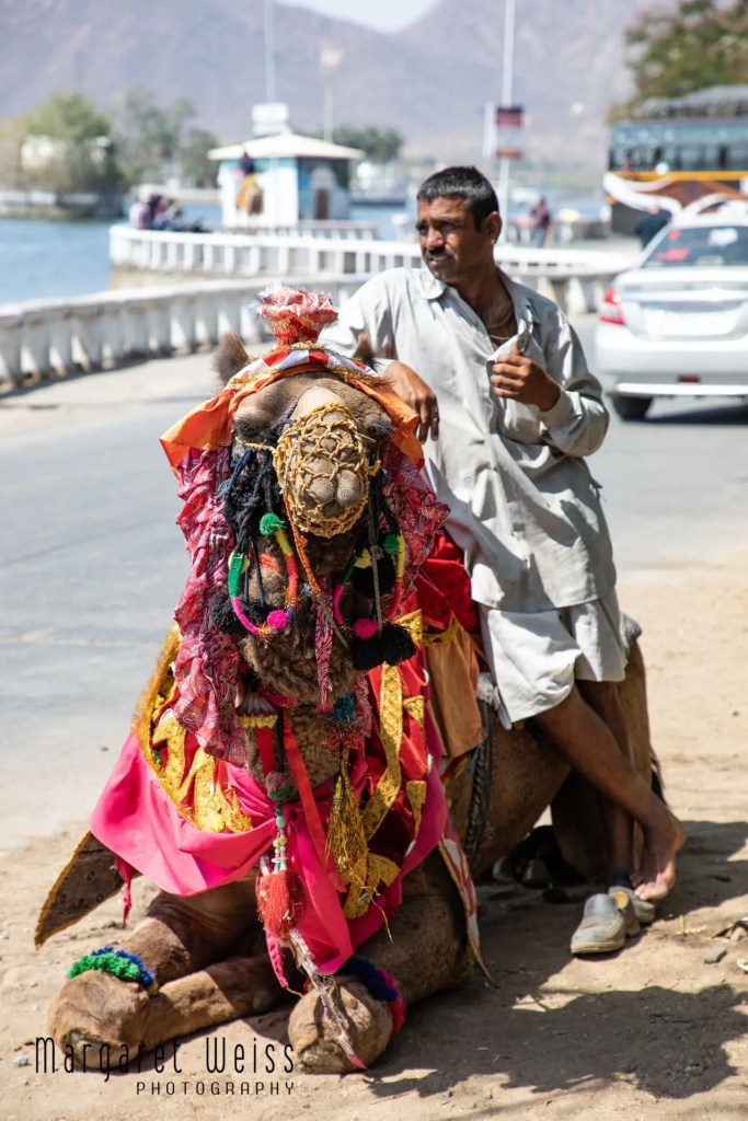 Indian dromedary muzzled and heavily laden and muzzled