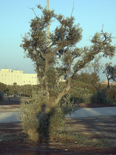 450px-Olive-tree-0