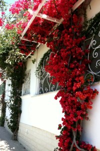 Bougainvillea in Capri on the Amalfi Coast Photo by Margie Miklas