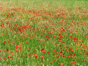 Poppies in Le Marche. Italy Photo by Margie Miklas