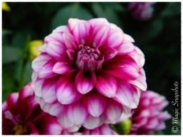 Purple-White Flower