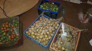 Zwiebel- und Tomatenernte