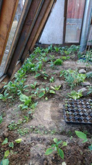 Ansicht des Gewächshauses mit kleinen Tomatenpflanzen, Spinat und Kohlsetzlingen